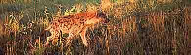 I spy a hyena on safari!