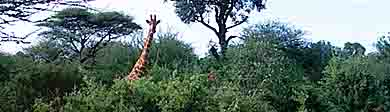 A giraffe appears above the trees in MalaMala.