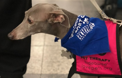 A therapy dog at LaGuardia Airport in New York City