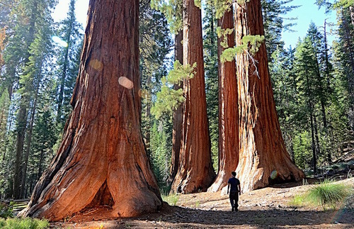 Man walking among giant sequoias