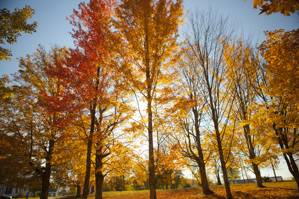 Tall trees decorated with bright orange and yellow leaves.