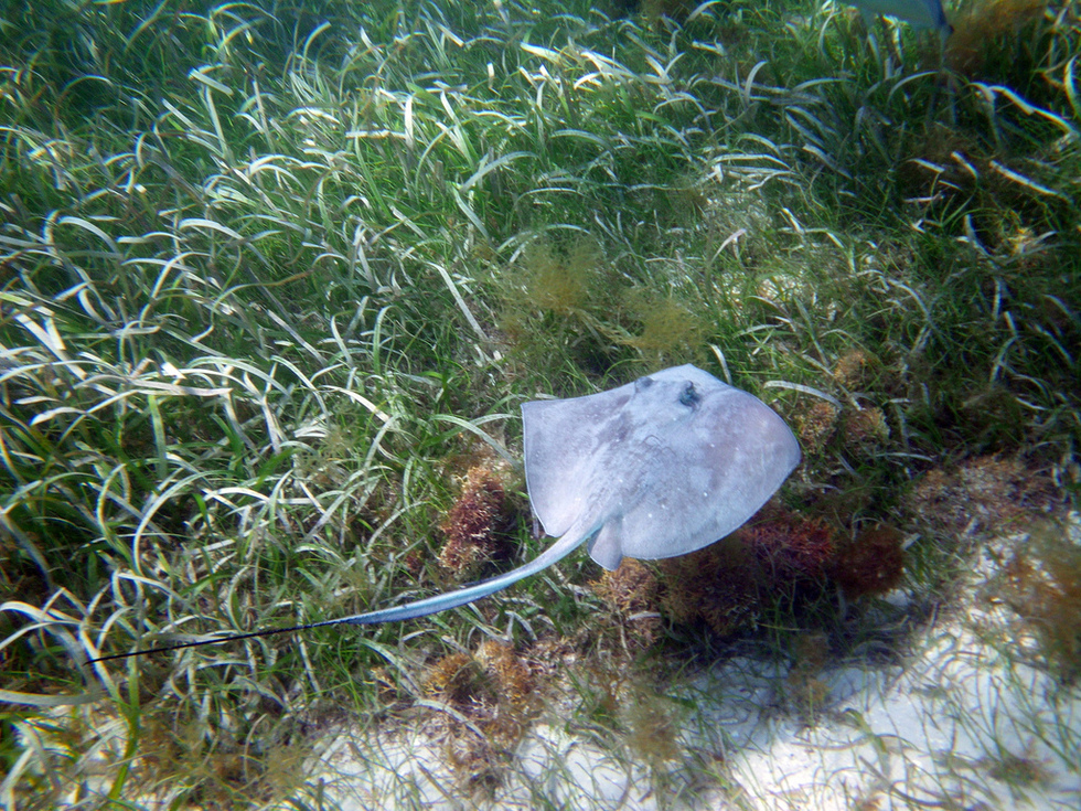 A stingray underwater, swimming over green grasses.