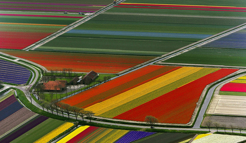 An aerial view of wide, colorful stripes of tulips covering expansive fields