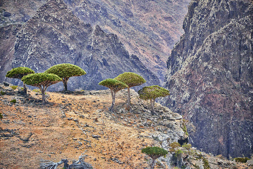 Lush green trees standing on the edge of a rocky cliff on Socotra island