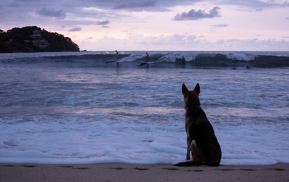A dog waits patiently on the beach as his master surfs
