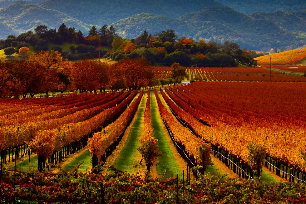 A vineyard in the Napa Valley