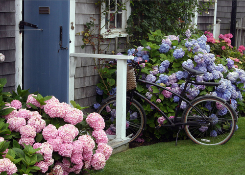 Hydrangea blossoms around Nantucket in summer