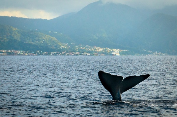 A whale's tale emerges from the waters off Dominica