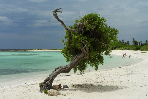 A divi tree, wharped by tradewinds, on Aruba's Baby Beach