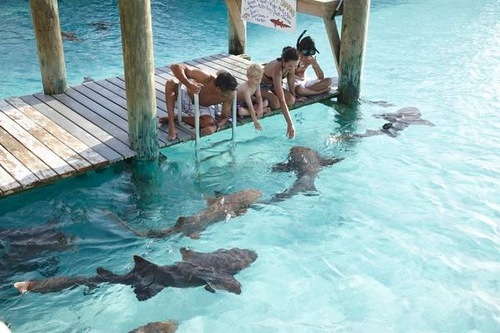Guests feed sharks at Fowl Cay in Great Exuma, The Bahamas.