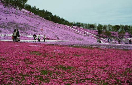Visitors admire fields of pink flowers in Hokkaido.