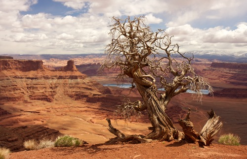 A gnarled tree at the edge of a cliff at Canyonlands National Park.