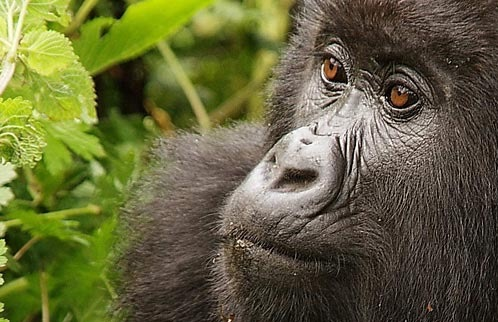 Endangered Animals In Rwanda | Frommer's