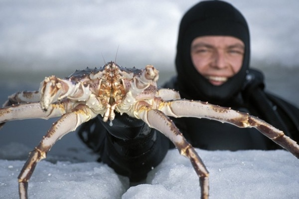 King Crab Safari