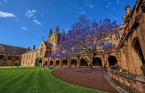 A lilac tree flowers at the University of Sydney in Australia.