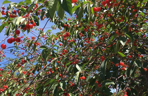 Branches loaded down with cherries