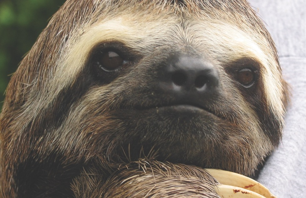 A three-toed sloth, resident of the Amazon region in South America