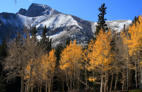 Orange aspen trees at Great Basin National Park in front of snow-dusted mountains