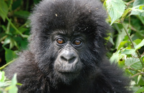 A young mountain gorilla in the Virunga Mountains of northern Rwanda