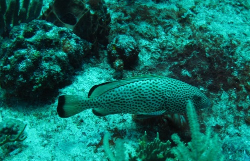 A spotted fish swimming in a coral reef.