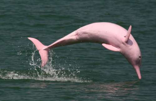 Rare Pink Dolphins Return to the Waters Around Hong Kong | Frommer's