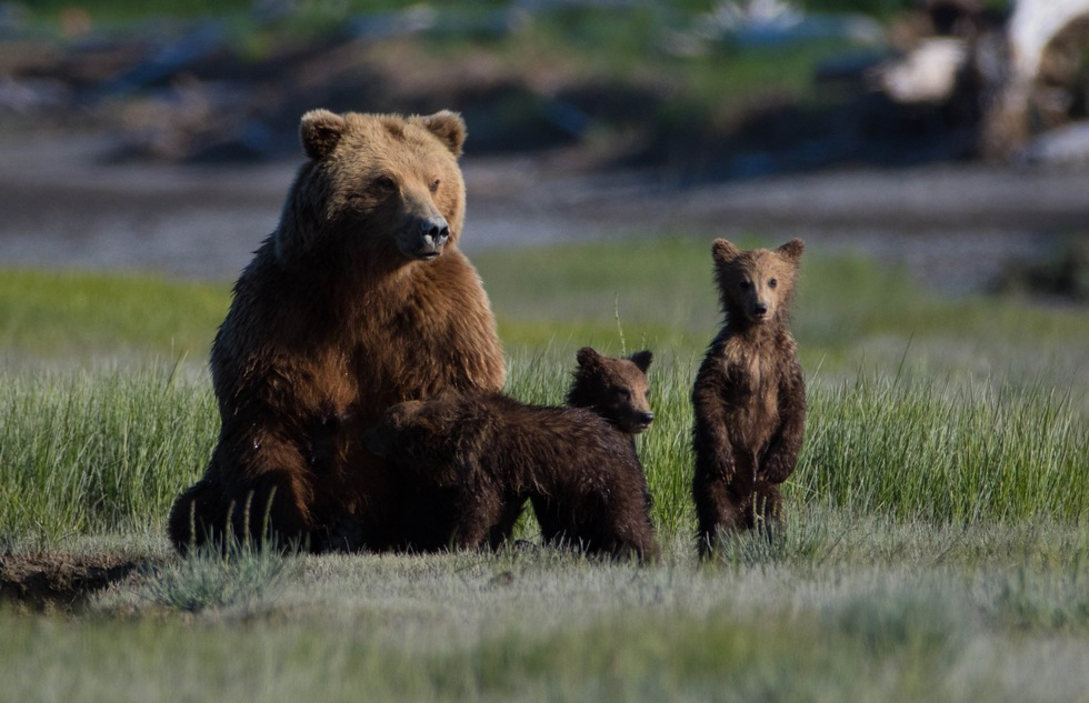 A family of bears cavorts on the Kenai Peninsula