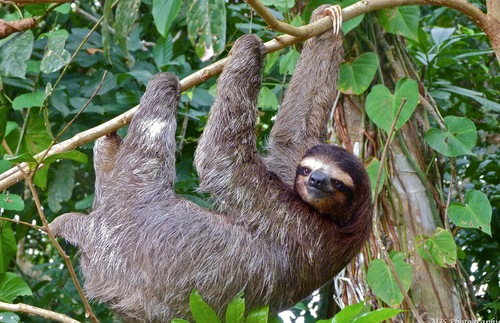 A sloth hangs from a tree in Limon,  Costa Rica.