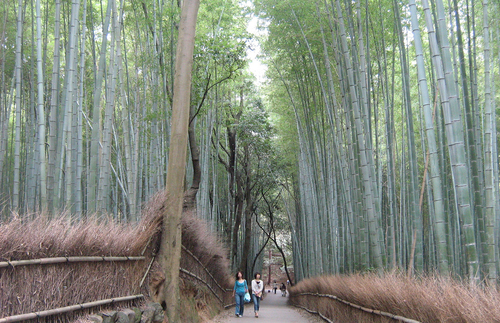The looming bamboo seem surreal on this walking tour.