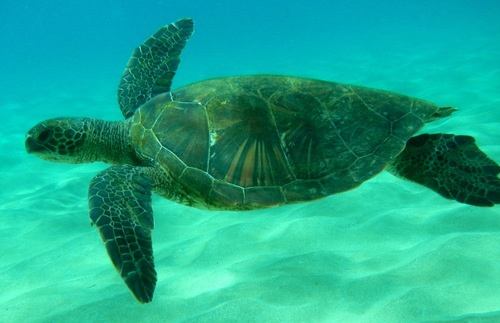 Underwater shot of a turtle in Maui's Kapalua Bay