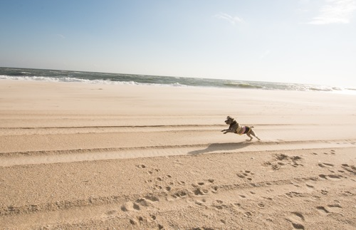 Dog running on Coopers Beach in Southampton on New York's Long Island