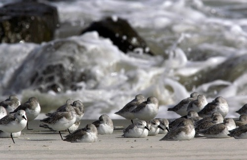 Stone Harbor birds