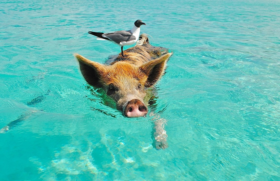Swimming pig in the Bahamas