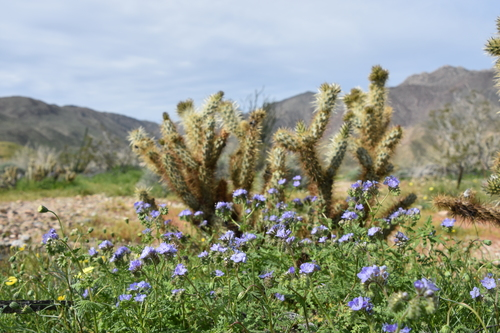 Wildflowers at the Anza-Borrego Desert in California