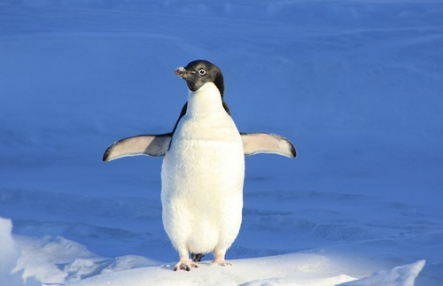 A penguin in Antarctica