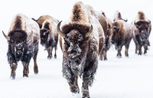 Buffalo in the snow at Yellowstone National Park