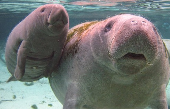 Manatees in Crystal River, Florida