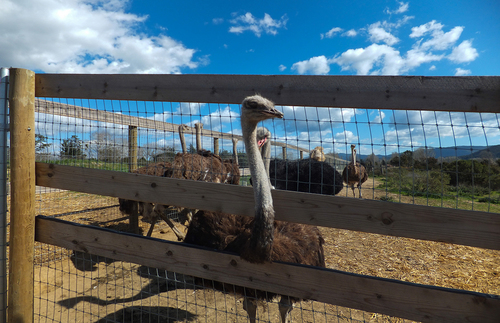 Ostrich and Emus at OstrichLand USA