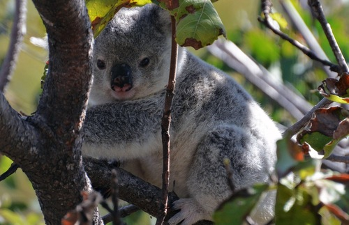 Koala on Australia's Magnetic Island