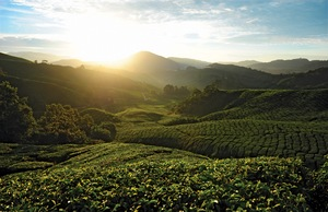 Visit Malaysia's Cameron Highlands for tea, hiking, steamboat, and more