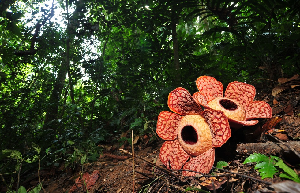 See rafflesia and other exotic Malaysian plants