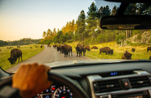 Go hiking in Custer State Park, drive Needles Highway, and see bison in the park's grasslands.