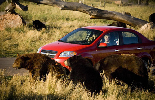 Drive through Bear Country USA in Rapid City for up-close wildlife sightings.