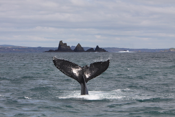 Whale watching in County Cork