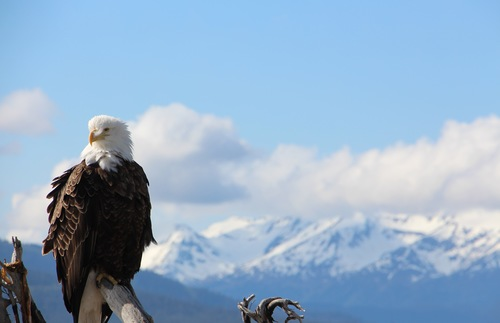 A bald eagle in Anchorage