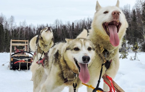 Top Alaska Vacation Package Ideas: Dogsledding package vacations