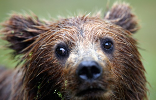 Top Alaska Vacation Package Ideas: Bear-spotting vacations packages
