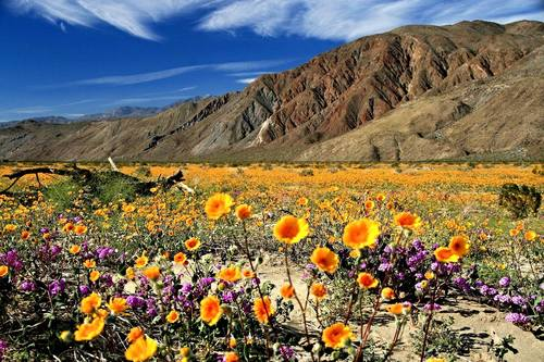 Superbloom! In California, Flowergeddon Approaches | Frommer's