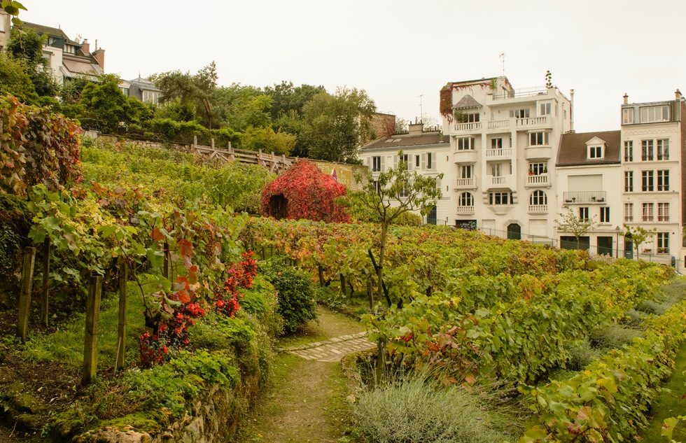 Vineyard in Montmartre, Paris