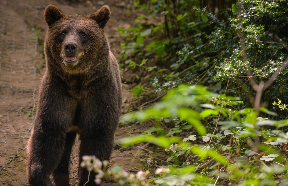 After a Millennium, Bears and Wolves Return to British Woodland—and You Can Watch | Frommer's