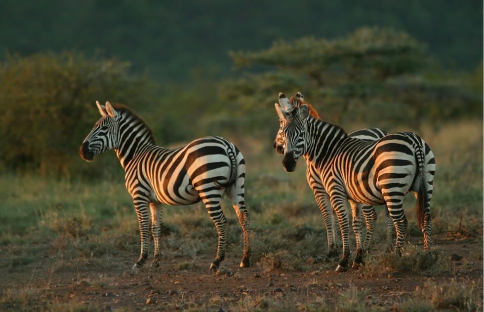 Zebras at Mpala Research Centre in Kenya
